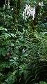 Aconitum orientale 6.jpg