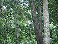 Actinodaphne ¿ angustifolia ? (8290312427).jpg