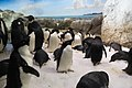 Adélie penguin.jpg