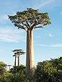Adansonia grandidieri 02.jpg