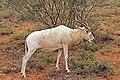 Addax (Addax nasomaculatus) female.jpg