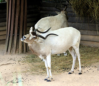 Pygarg - The addax (Addax nasomaculatus), possibly the original dishon/pygarg.