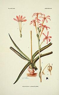 <i>Manfreda longiflora</i> species of plant