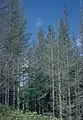Adelges piceae 1510050.jpg