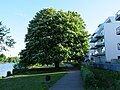 Aesculus nect to the Havel river in Berlin-Spandau.jpg