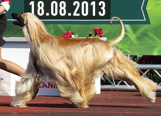 Afghan Hound - Afghan Hound in the ring