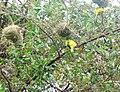 African Masked Weaver - Zambezi Valley Zambia -2.jpg