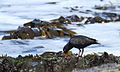 African Oystercatcher or African Black Oystercatcher, Haematopus moquini (13171218823).jpg