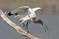 African Sacred Ibis, Threskiornis aethiopicus, at Pilanesberg National Park, South Africa (45081681901).jpg
