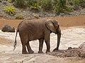 African bush elephant - afrikanischer Elefant - Éléphant de savane d'Afrique - Loxodonta africana - 01.jpg