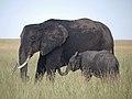 African elephant (20872947170).jpg