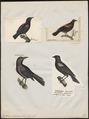 Agelaius phoeniceus - 1700-1880 - Print - Iconographia Zoologica - Special Collections University of Amsterdam - UBA01 IZ15800251.tif