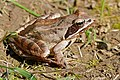Agile frog (Rana dalmatina) (16590216723).jpg