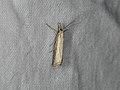 Agriphila straminella (36610147432).jpg