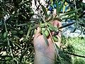 Albero d'ulivo a Solarino.jpg