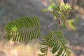 Albizia harveyi01.jpg