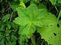 Alchemilla acutiloba leaf (08).jpg