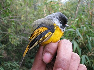 Golden-breasted fulvetta - From Eaglenest Wildlife Sanctuary, Arunachal Pradesh.