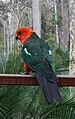 Alisterus scapularis -Narooma -Australia -male -back-8.jpg