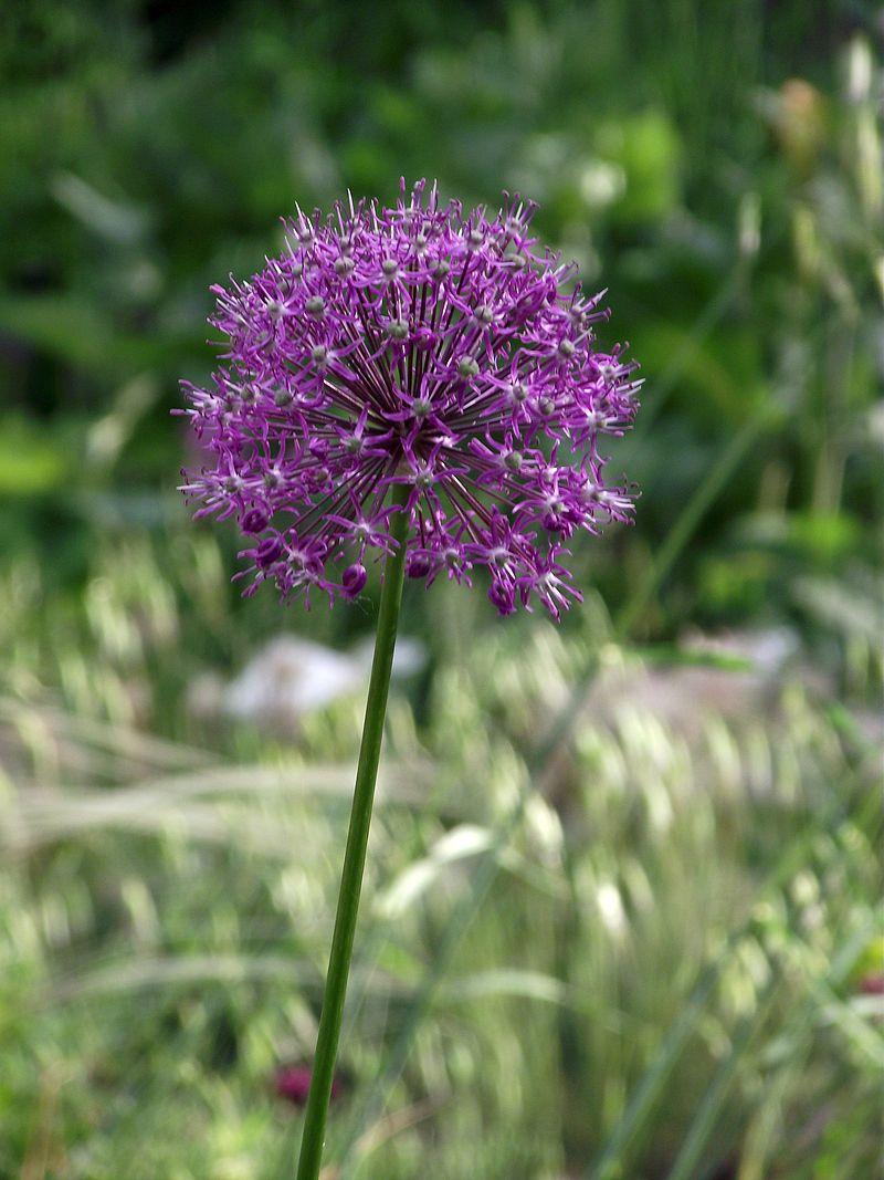 Allium altissimum.jpg