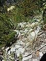 Allium ericetorum sl2.jpg