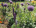Allium giganteum 'Globemaster' (Amaryllidaceae)-4F.jpg