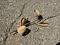 Almond fruit.JPG