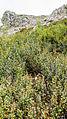 Alnus viridis suaveolens.jpg