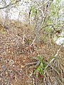 Aloe mossurilensis in its type location (9589850448).jpg