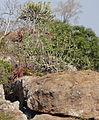Aloe spicata - landscape (10222706784).jpg