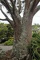 Aloidendron barberae kz1.jpg