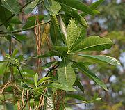Alstonia macrophylla (Batino) in Hyderabad W IMG 7138.jpg