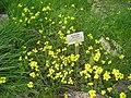 Alyssoides utriculata - Berlin Botanical Garden - IMG 8506.JPG