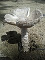 Amanita arenicola O.K. Mill. & Lodge 871438.jpg