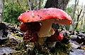 Amanita muscaria (5) (8691203723).jpg