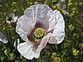 Amapola blanca con un toque de rosa (8723591385).jpg