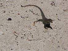 Ameiva plei on sand.jpg