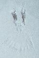 American Crow (Corvus brachyrhynchos) Track on Snow - Guelph, Ontario.jpg