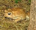 American Toad Image 001.jpg