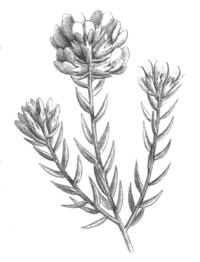 Amphithalea ericifolia Taub107b