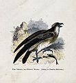 An osprey (Pandion haliaetus). Coloured engraving by Whimper Wellcome V0022227ER.jpg