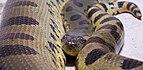 Anaconda común (Eunectes murinus), Tierpark Hellabrunn, Múnich, Alemania, 2012-06-17, DD 01.JPG