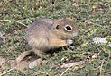 Anatolian Ground Squirrel - Spermophilus xanthoprymnus 06.jpg