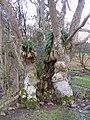 Ancient ash tree - geograph.org.uk - 670772.jpg