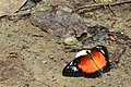 Andaman08 A Andaman Red Lacewing (7999692921).jpg