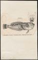 Anema inerme - 1700-1880 - Print - Iconographia Zoologica - Special Collections University of Amsterdam - UBA01 IZ13200031.tif
