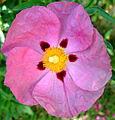 Anemone Japonica (3665857146).jpg