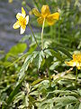 Anemone ranunculoides chateau champigneulles 03042002 8.JPG
