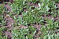 Anethum graveolens 3zz.jpg
