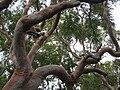 Angophora costata A.costata IMG 3034 (5497781941).jpg